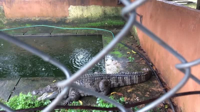 Кормление крокодилов 1
