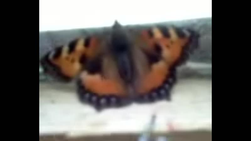 Невероятно, но на самом деле _ зимовье бабочек дома_10.12.2018_9.01.2019_15.01.2019_15.01.20919_2.032019
