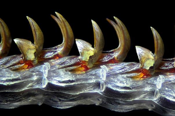 Это радула аппарат, служащий для соскребания и измельчения пищи у моллюсков, под микроскопом, 4-х Фото: Michael