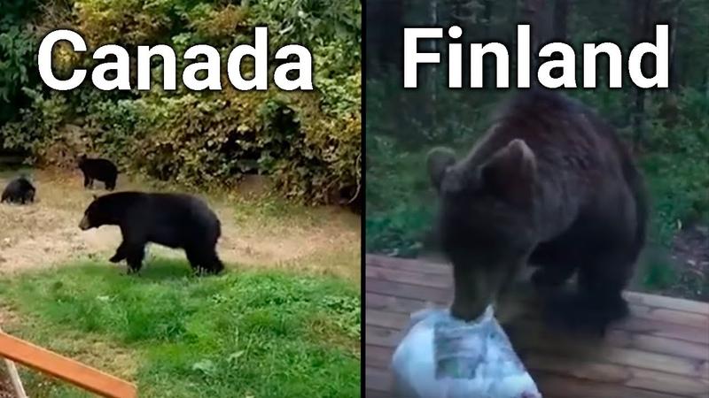 Bears In CANADA VS FINLAND funny