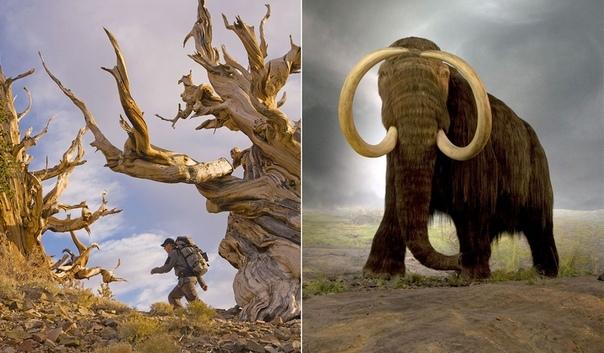 Послeдний мамонт исчез примерно в то время, когда самому старому на Земле дереву было 1000 лет