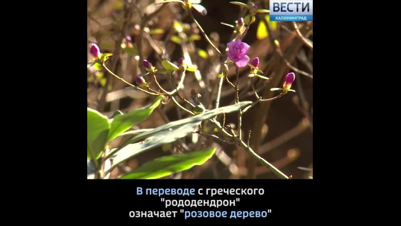 В Ботаническом саду Калининграда зацвел родендрон