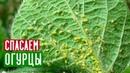 Безопасный способ борьбы с тлей и паутинным клещем на огурцах Садовый гид