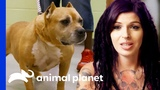 Adopted Dog Brought Back To Villalobos From A Mississippi Shelter! Pit Bulls &amp Parolees