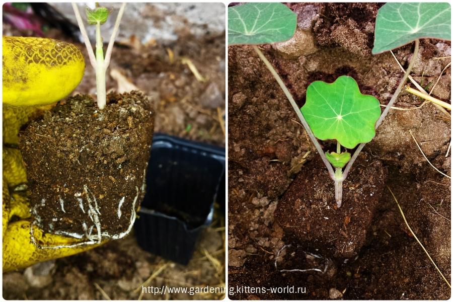 Оригинальный способ посадки настурции семенами и высадки рассады в открытый грунт
