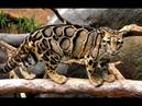 Живой или вымерший Тайваньский дымчатый леопард