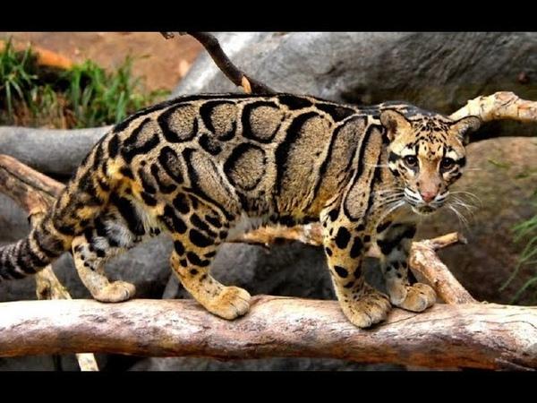 Живой или вымерший. Тайваньский дымчатый леопард