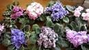 Секретный раствор для полива фиалок Фиалки как ухаживать чтобы цвели и радовали!
