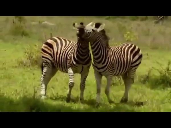 BBC Дикая африка