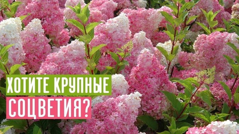 Как добиться крупных соцветий у метельчатой гортензии? / Садовый гид