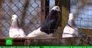 Чиновники решили узаконить и отремонтировать купчинскую голубятню в Петербурге