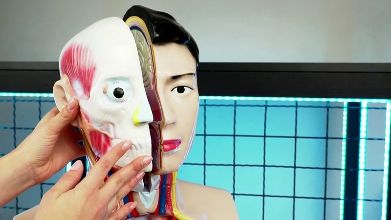 Будова тіла людини - демонстраційна модель тулуба Торс людини