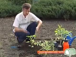Томаты - высадка в открытый грунт_Школа цветоводства и садоводства