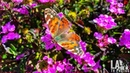 PAINTED LADY BUTTERFLIES MIGRATION