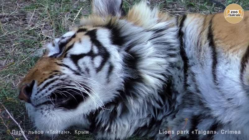 Амурский тигр Скиф Тайган ¦ Amur tiger Skiff Taigan