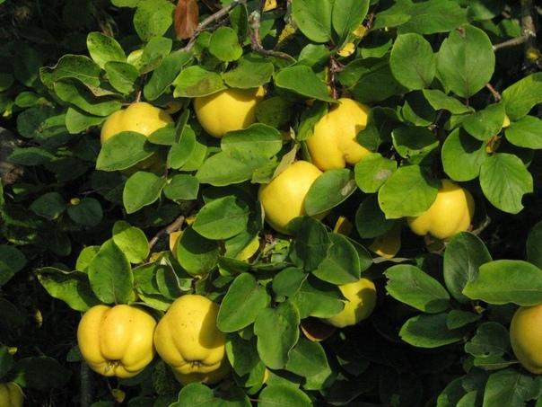 АЙВА Слово «айва» у людей ассоциируется не только с твердыми плодами с довольно специфическим вкусом, но и с другими понятиями. Любителям красоты приходит на ум декоративный кустарник,