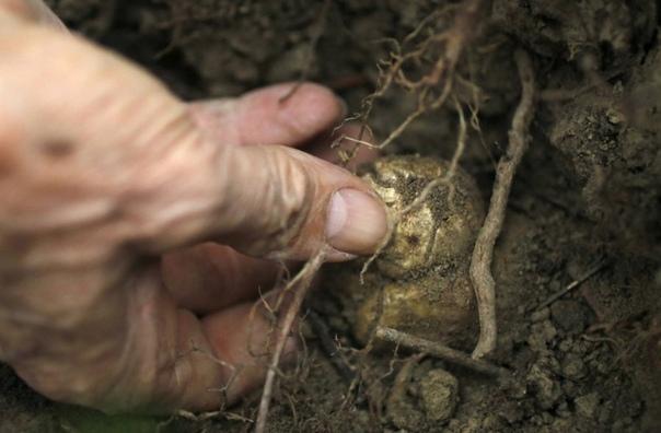 Как добывают трюфели 2000 за 1 кг грибов именно столько приходится платить любителям белого трюфеля за возможность побаловать свои вкусовые рецепторы. Черный трюфель стоит дешевле от 700 за 1