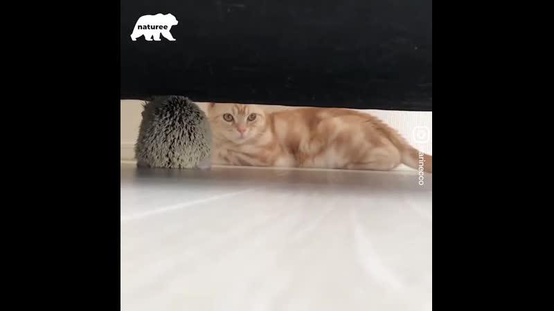 This hedgehog and this cat make the cutest pair!💖 Этот Ёжик и этот кот - самая милая пара! 💖
