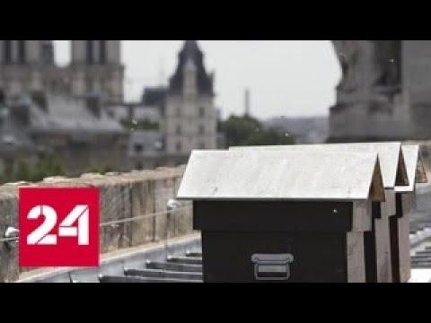 Пчелы живущие в соборе Парижской Богоматери выжили после пожара Россия 24