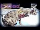 Бенгальский кот одел картонку от пирога. Смешной кот!