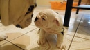 Englishbulldog puppy meets father first time steals my camera - cute video