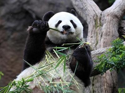 Большая панда оказалась ближе к плотоядным животным по составу потребляемых питательных веществ