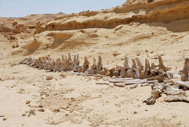 Долина китов в Египте скелеты гигантов посреди пустыни Сахары Египет это не только пирамиды, древние храмы и бархатные пляжи Красного моря. Это еще и Долина китов, включенная в список объектов