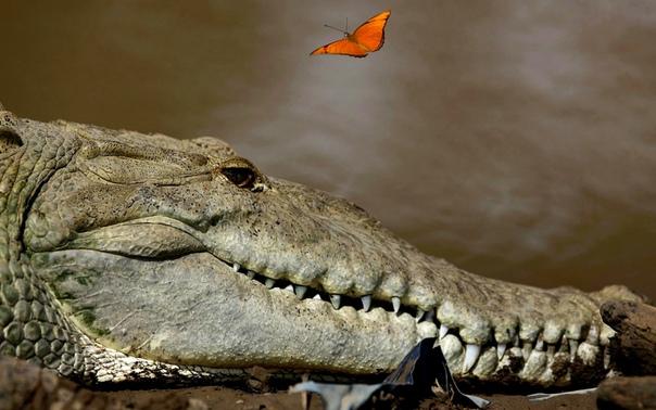 Бабочка пролетает над большим крокодилом на реке Тарколес, реке с одной из самых высоких популяций крокодилов в мире (провинция Пунтаренас, Коста-Рика
