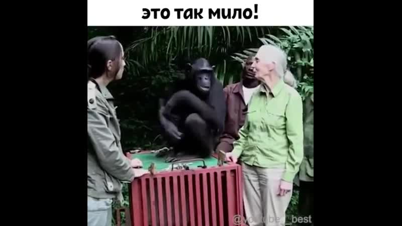 Шимпанзе возвращается на волю из реабилитационного центра, где его спасли от гибели.Посмотрите, как он благодарен своему врачу