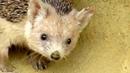 Long eared hedgehog Cyprus hedgehog Hemiechinus auritus dorotheae