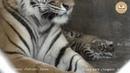 Тигрица Бровки Лилии и малыши Тайган Tigress Brow Lily and cubs Taigan