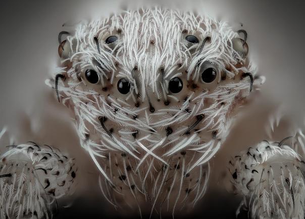 Маленький беловолосый паук, 20x