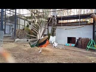 Брачный танец павлина