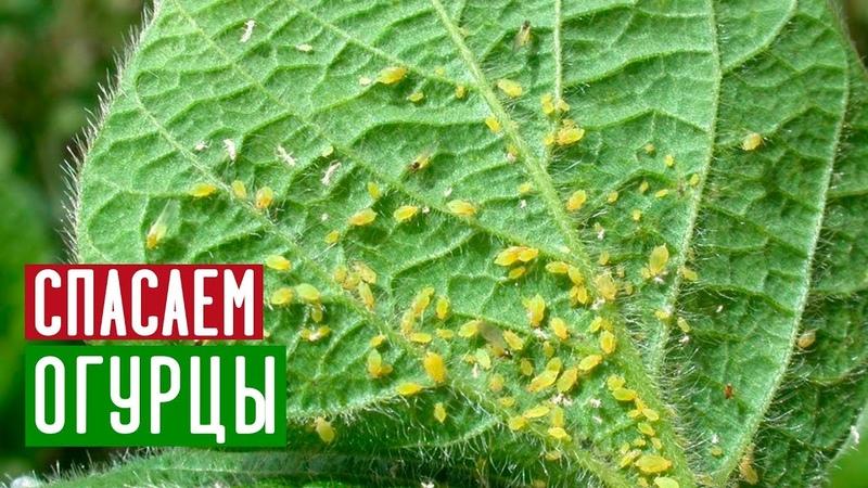 Избавляемся от тли и паутинного клеща без химии Садовый гид