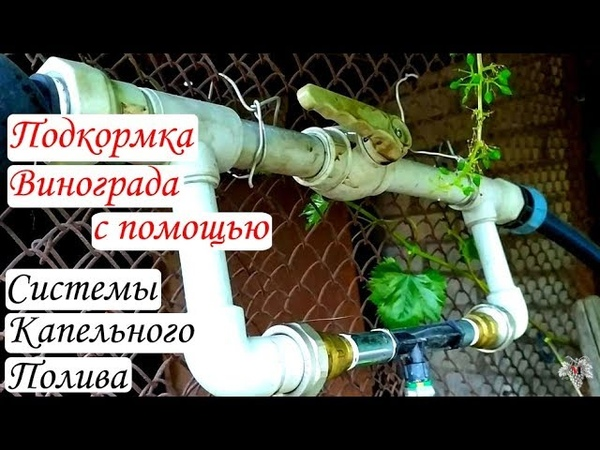 Подкормка винограда через систему капельного полива