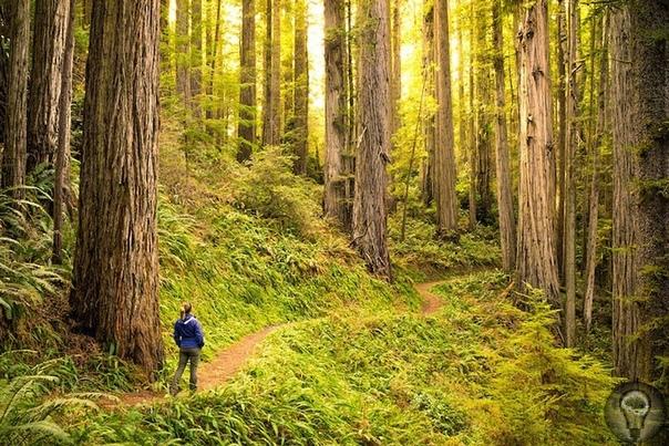 """Национальный парк """"Редвуд"""" : путешествие в страну великанов"""
