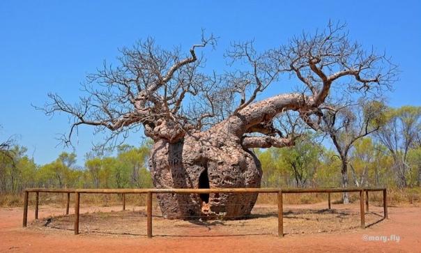 ЭТО ПОХОЖЕ НА ПРАВДУ. БАОБАБ - ДЕРЕВО-ТЮРЬМА В АВСТРАЛИИ Австралийское дерево баобаб, в отличии от баобабов Мадагаскара и материковой Африки, представляет собой большое дерево с большим