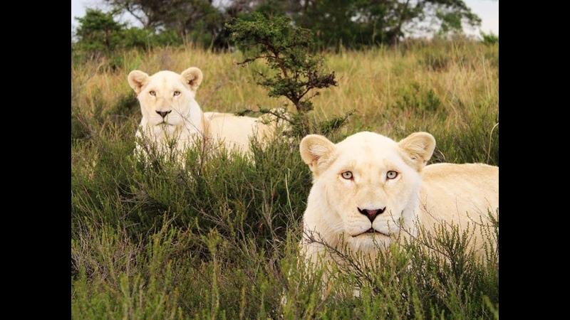 Львы альбиносы африканских саванн Серия 2 Познавательный фильм