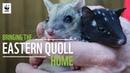 Крапчатая сумчатая куница / Bringing The Eastern Quoll Home WWF-Australia