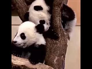 Большие панды едут в Москву
