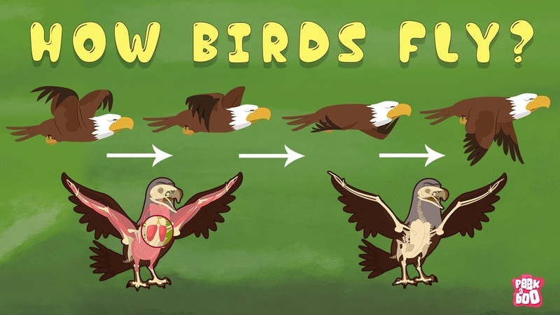 How Birds Fly? The Dr. Binocs Show Best Learning Videos For Kids Peekaboo Kidz