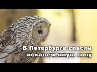 В петербурге спасли сову