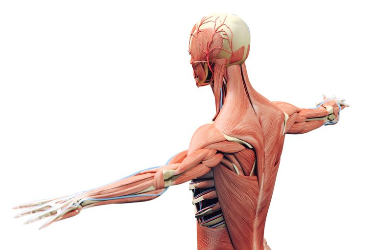 Костно-мышечная система