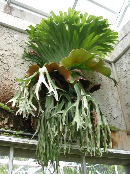 ПЛАТИЦЕРИУМ Платицериум очень необычный папоротник, семейства многоножковые. Название рода происходит от греческих слов platus плоский и eras рог и связано с тем, что листья по форме напоминают