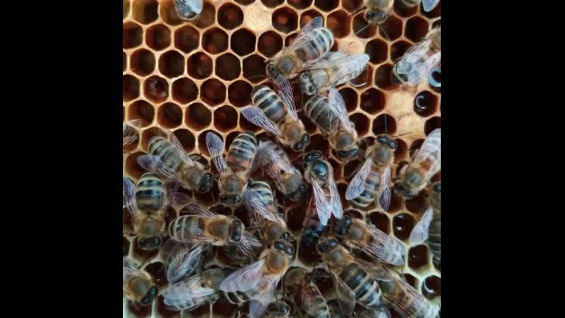 Пчелиная матка в улье | Пасека Apiferma.ru