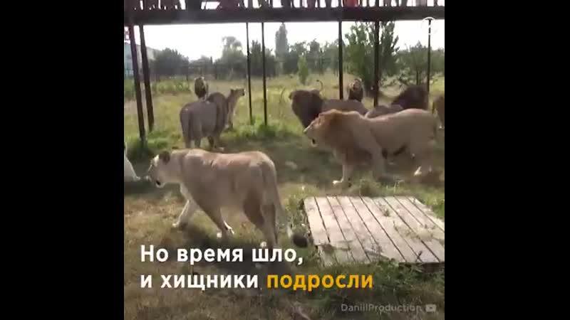 Женщина вырастила двух львят сирот И они встретились через 7 лет… Трогает ВотЭтоЖенщина МиМиМи