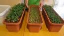 Выращивание туи из семян. Посев, уход, итоги года.