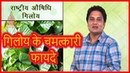 गिलोय के चमत्कारी फायदे Benefits of Giloy in Hindi Home Remedies Health Tips By Divyarishi