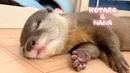 カワウソコタローとハナ 遊び疲れた2人の癒し寝顔 Otter Kotaro Hana Cute Sleeping Faces