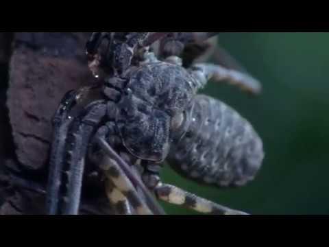 Жгутоногий паук Фрины Удивительные Животные